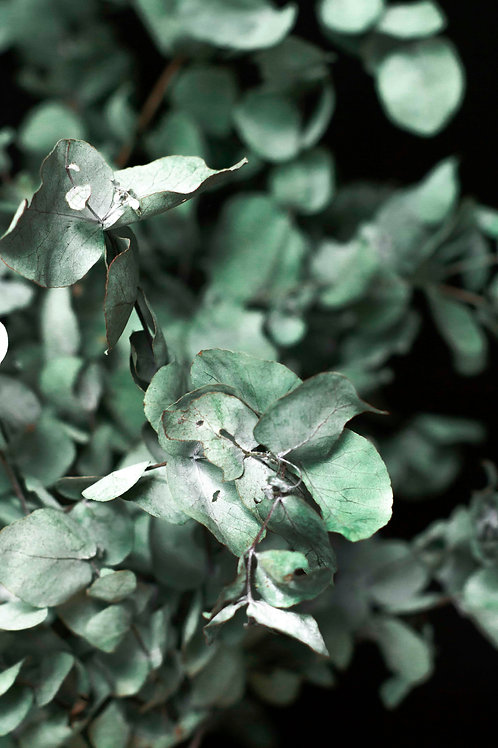 Eucalyptus study #2 on black
