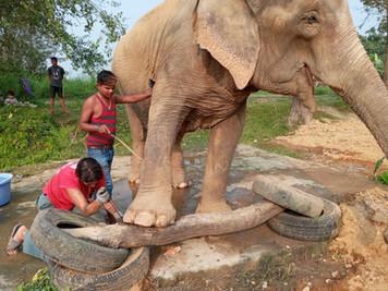 foot trimming elephant.jpg