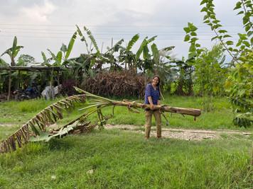 organic banana tree elephant