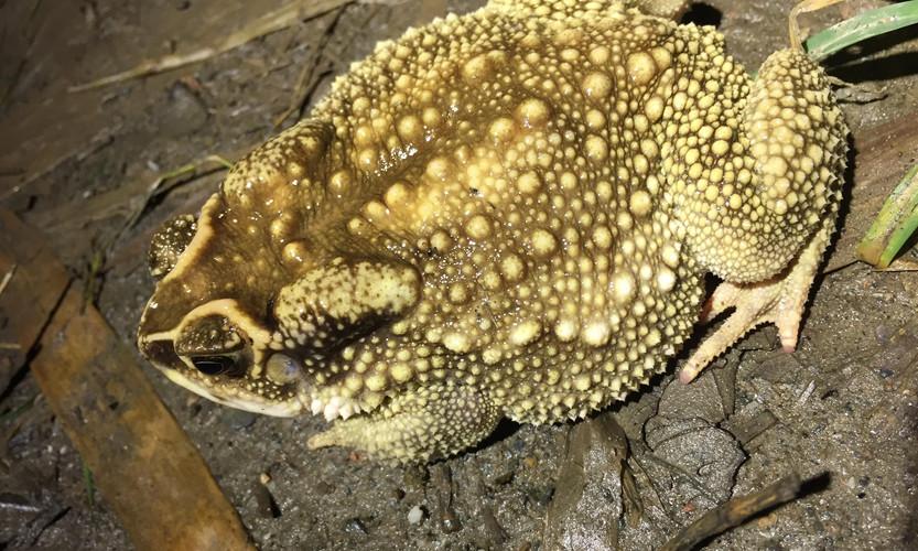 Asian Toad (Duttaphrynus melanostictus)