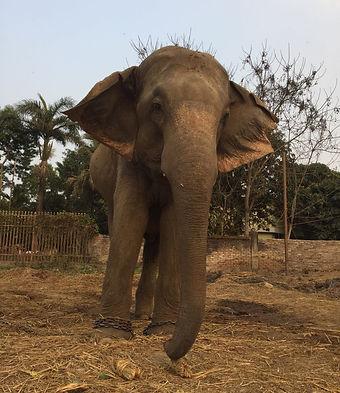 Stand Up 4 Elephants NGO Nepal Project Ramu