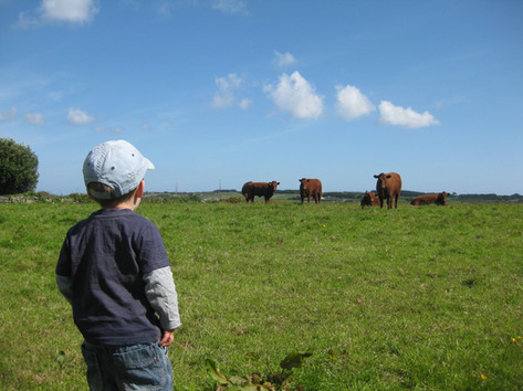 Checking the cows