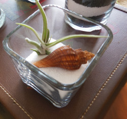 Air plant and shell in Sand