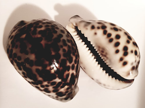 Seashell Massage Shells Natural Training