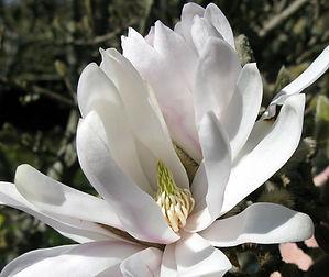 9-3-29 magnolia.jpg