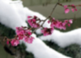 na9-2-27 blossoms in the snow.jpg