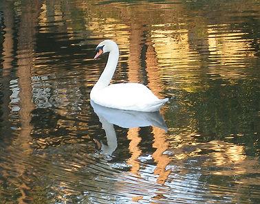 n3 swan.jpg