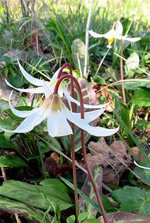 3-25 fawn lily 3.jpg