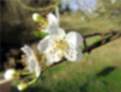 na2-21 - 51 wild cherry.jpg