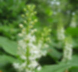 8-5-25 9 false lily of the valley.jpg