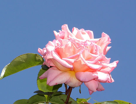 3 806029 rose.jpg