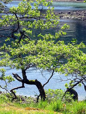 4-27 new oak leaves.jpg