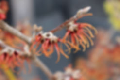 v1-19 witch hazel.jpg