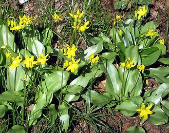 7-3-20 07 glacier lilies.jpg