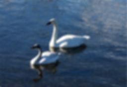 3-5 swans.jpg