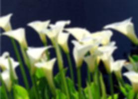 5-5 calla lilies.jpg