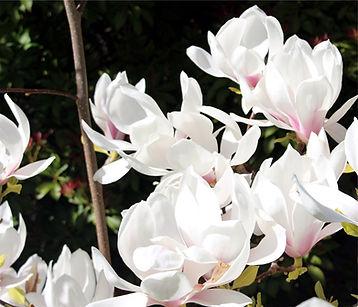 4-10 magnolias 1.jpg