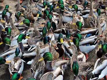 va1-28 ducks per square foot.jpg