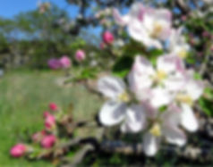 4-20 apple blossoms.jpg
