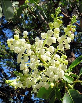 4-29 arbutus flower.jpg