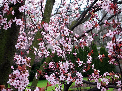 v6-2-11 pink blossoms.jpg