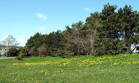 7-3-20 05 fields of daffies.jpg