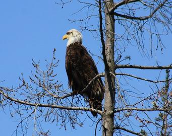 8-7-7 eagle.jpg
