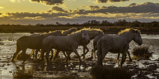 Chevaux Camargue color 4