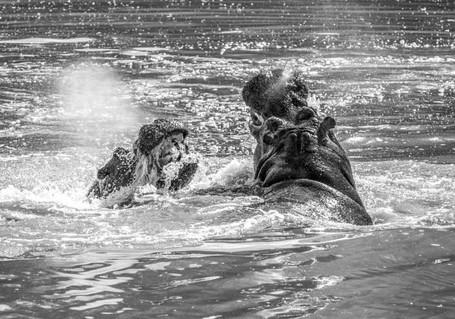 Bagarre d'Hippos
