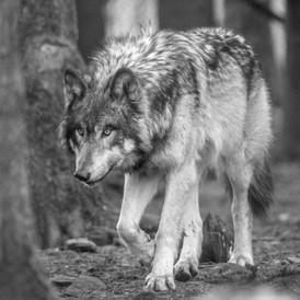 loup dans nature
