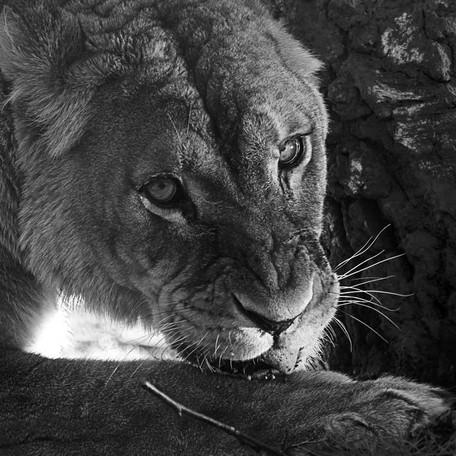 Lionne se lechant la patte
