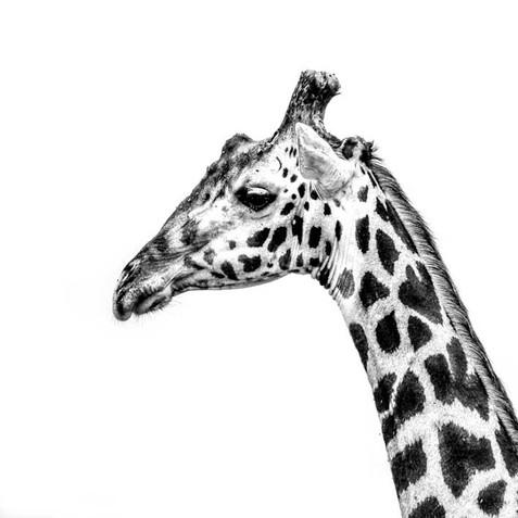 Curieuse girafe