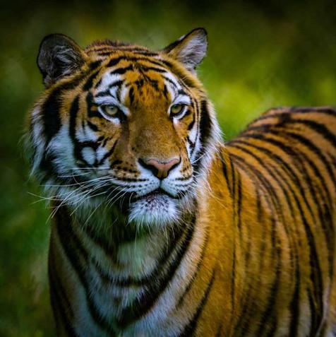 Tigre color