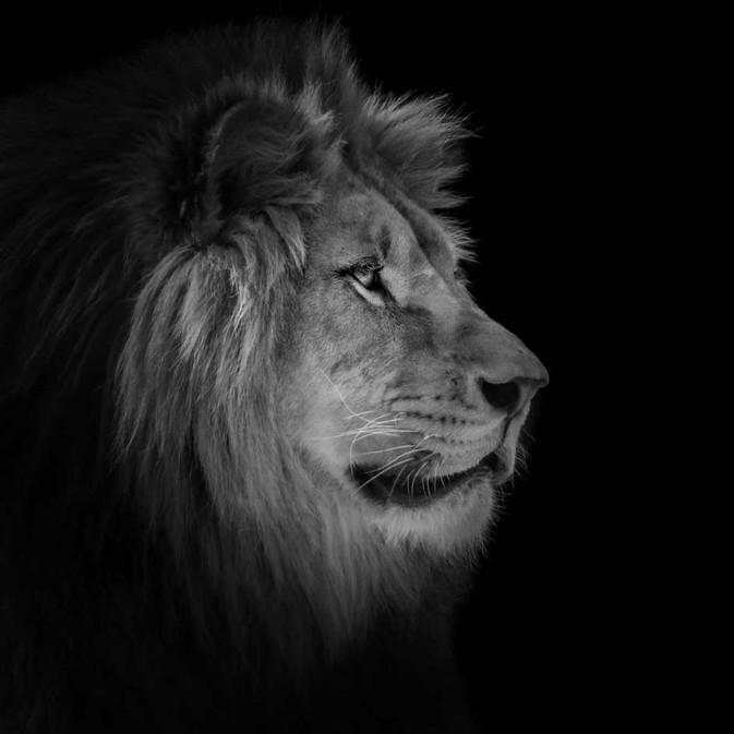 Lion de profil