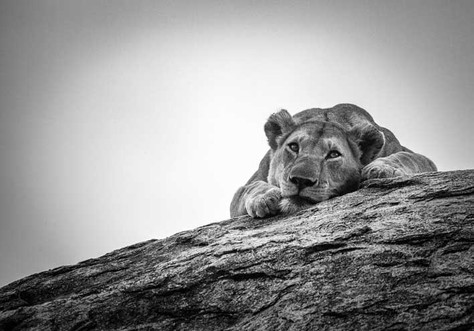 Lionne couchée sur rocher Boma