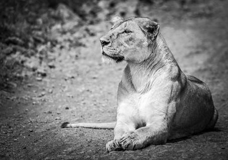 Lionne sur le chemin