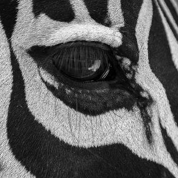 oeil zebre