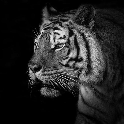 Tigre de Profil