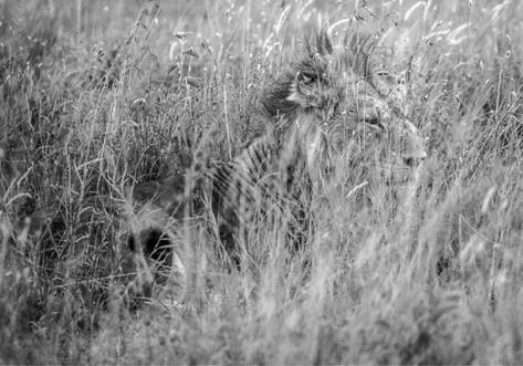 Lion caché dans les herbes