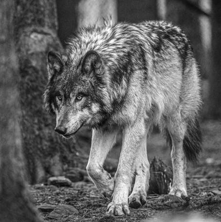Loup gris dans la forêt