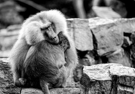 Calin de singes