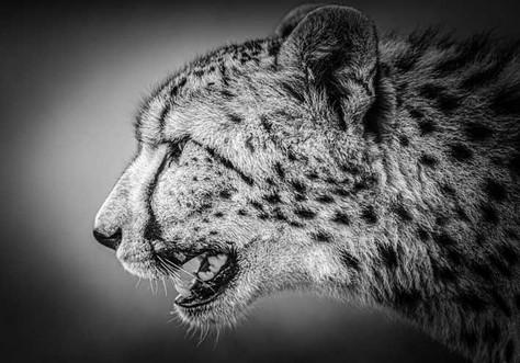 Profil de guépard