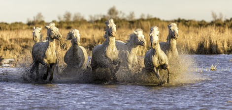 Chevaux Camargue color 3