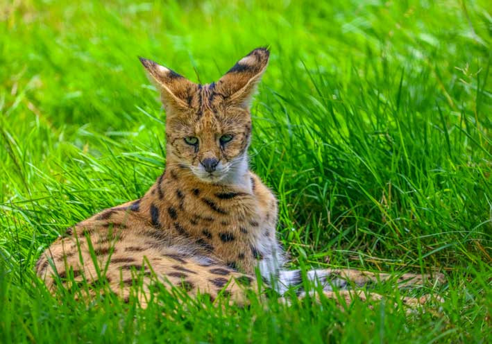 Serval-couché color
