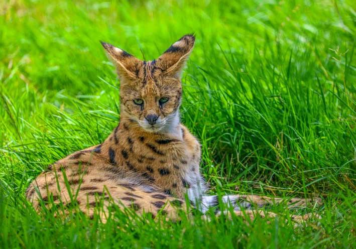 Serval-couché color