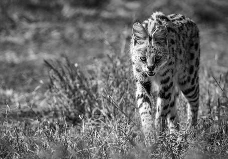 Serval qui marche