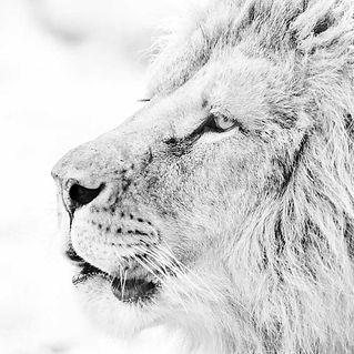 100x100-Lion-de-profil-2X9A9609.jpg