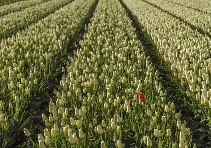 Champs de tulipes - Pays-Bas