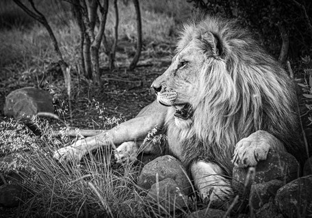 Lion Afrique du sud patte posée sur une pierre