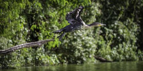 Envol du cormoran